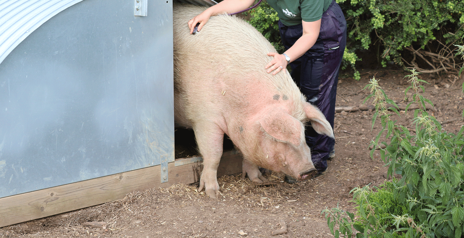 """After a reassuring chat on the phone Lauren came out to treat my pig, it was Christmas evening, strong winds and raining but she was so cheerful and lovely"""